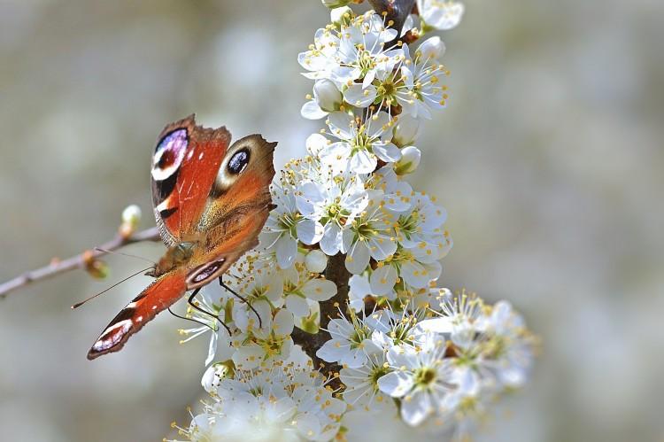 Schmetterling auf einer Schlehdorn-Blüte